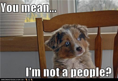 This is exactly what a Mini Aussie thinks